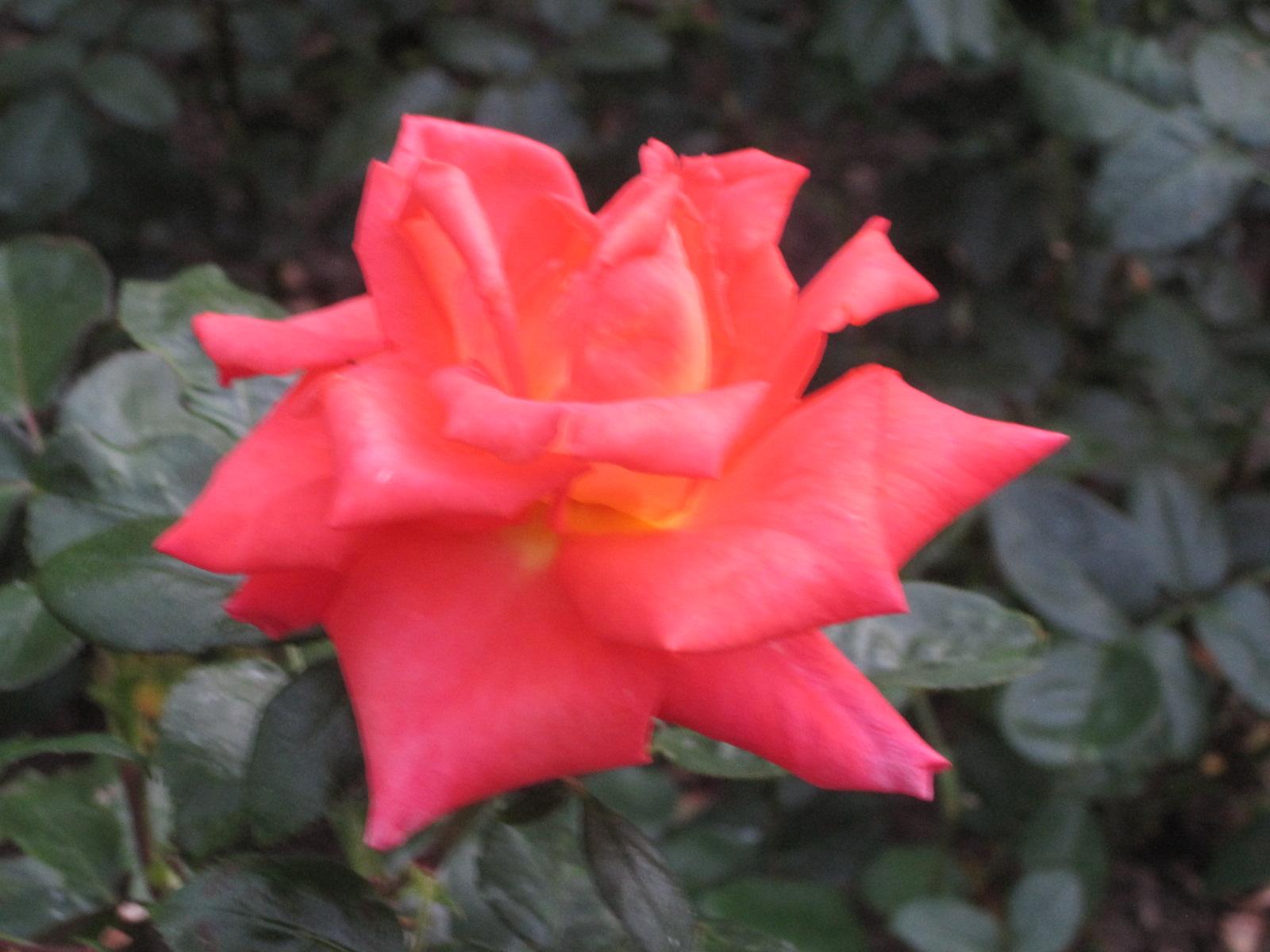 Baden, Rosarium, Parco Rose, Giardino Rose, Rose, Rosa